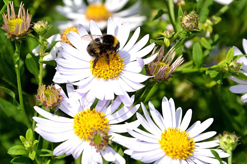 Humlor och bin
