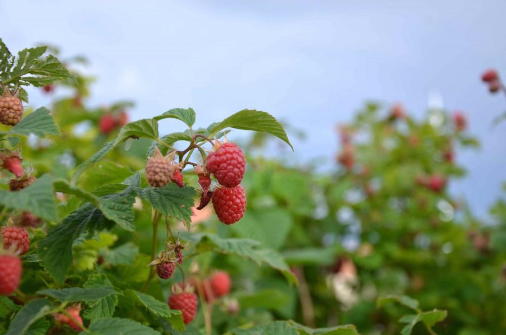 Odlingsvärd frukt och odlingsvärda bär - hallon
