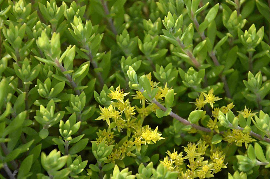 odlingsvärda fleråriga grönsaker löparfetblad