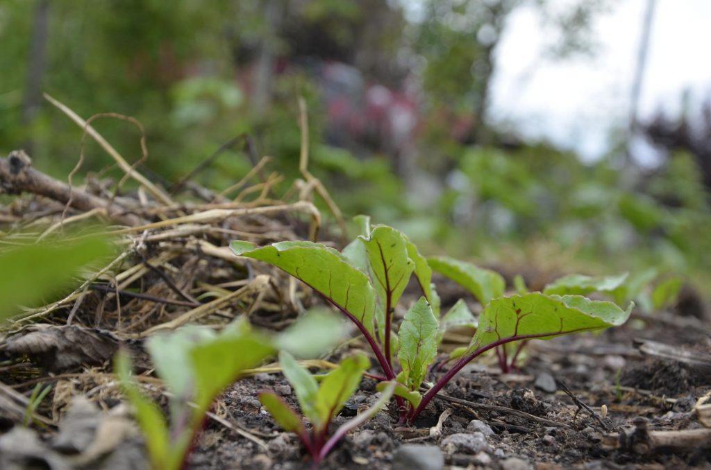 Att odla rotsaker