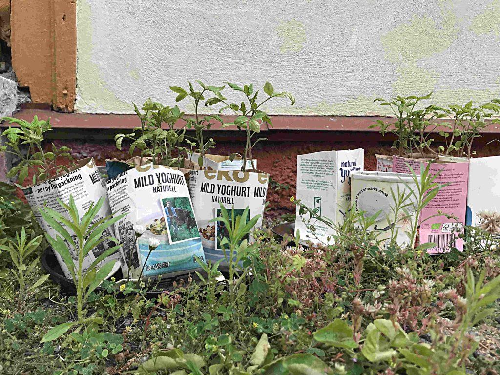 Låt förpackningar cirkulera mera. Plantera ex. tomatplantor i mjölkkartonger.