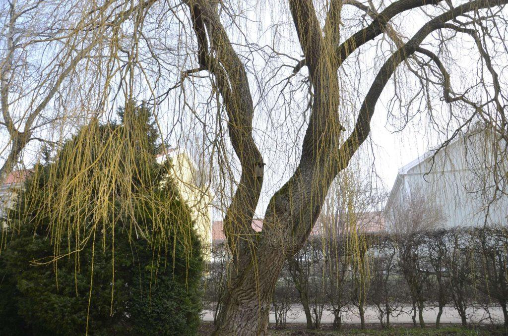 Att lära känna ett träd. Bild på pilträd.