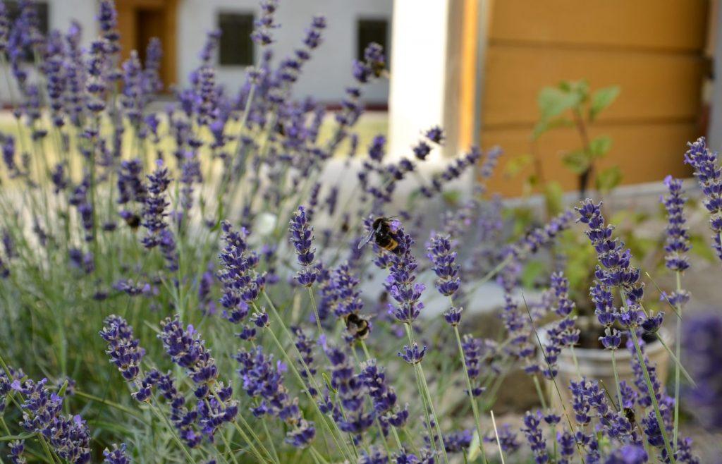 Gynna pollinatörerna i din trädgård. Blild på bin bland lavendel.