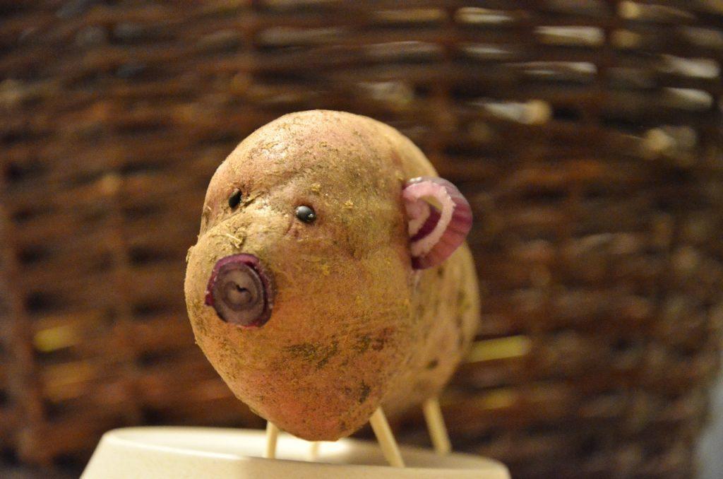 Uppföljning  av årets potatisodling. Bild på potatisgris.