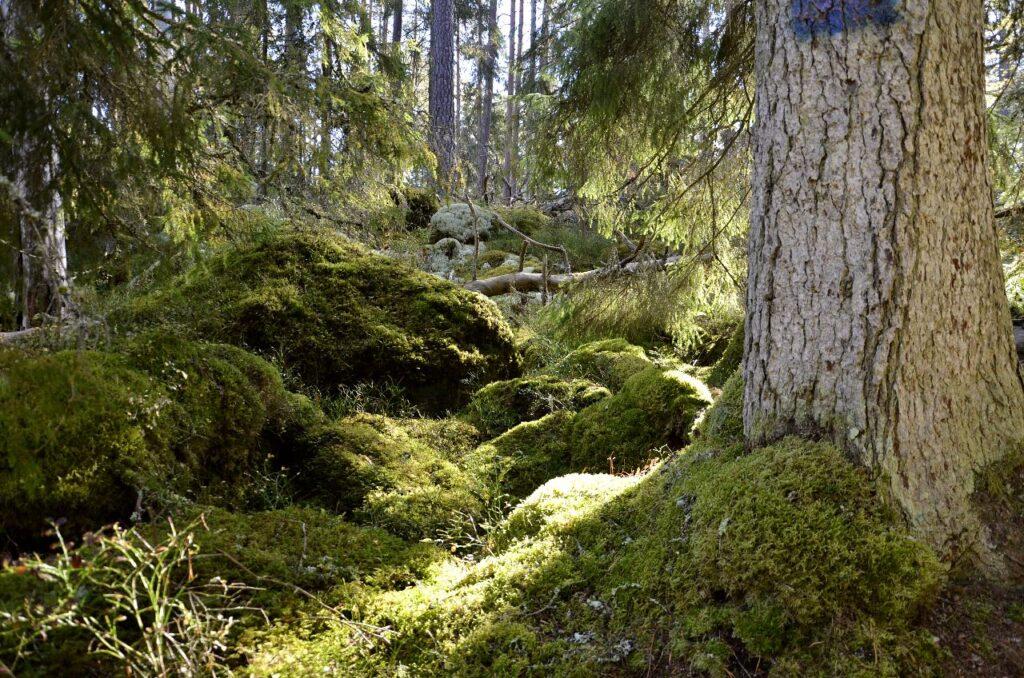 Att köpa skog. Bild på gammal skog.