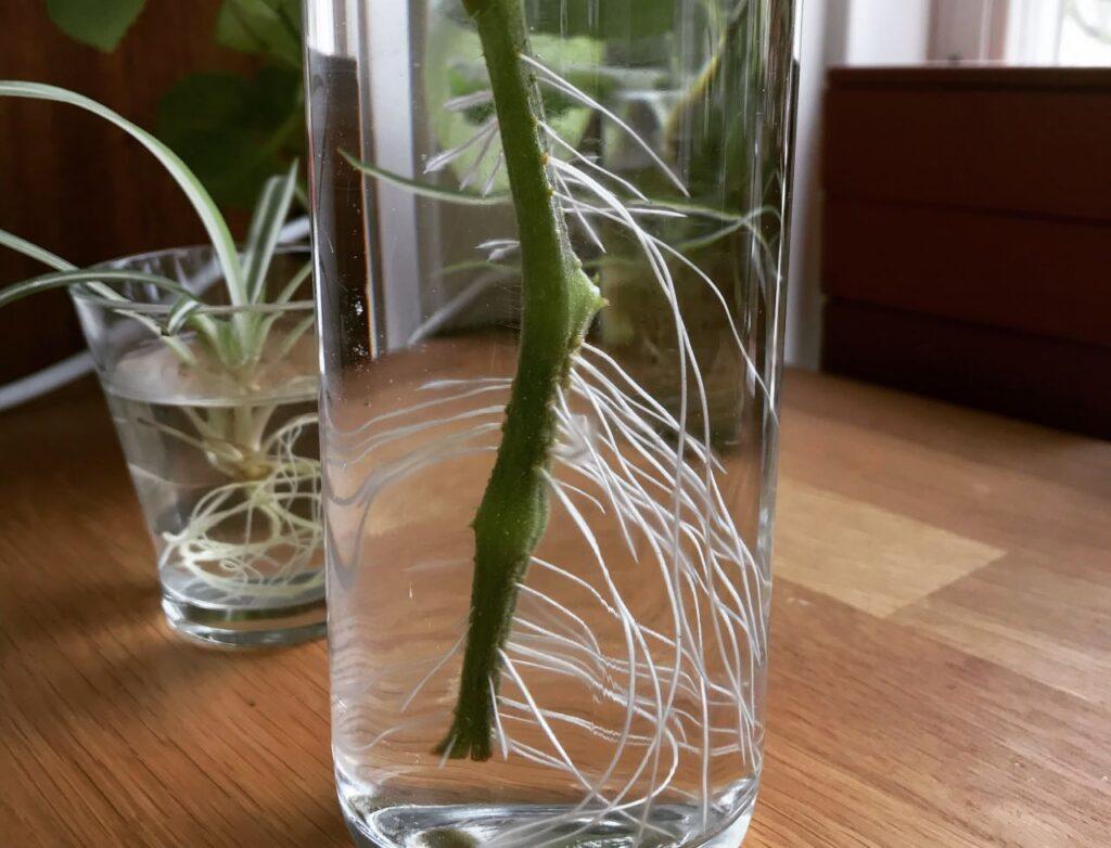 Idén om ständig tillväxt. Bild på växtrötter i ett glas.