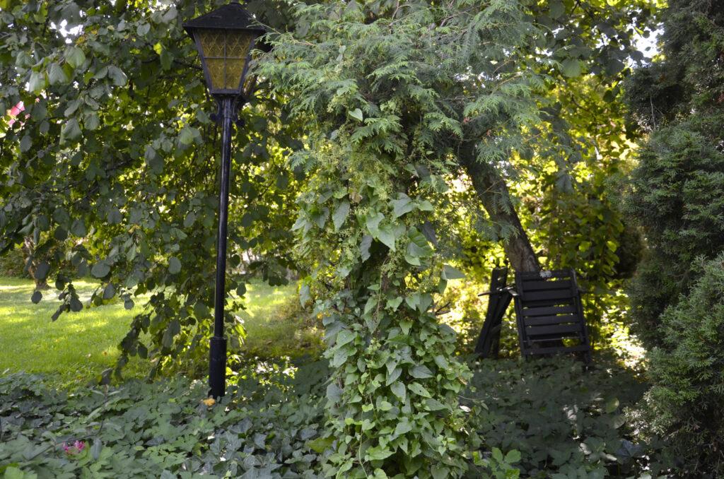 Skogsträdgård i en gammal rabatt. Bild på lummig rabatt där det bland annat växer rankspenat. .